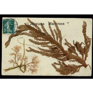 Algues Marines Séchées